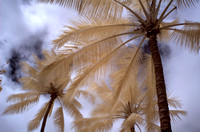 Palm Perspective No. 1